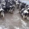 Industrias lácteas subirán fuerte el precio pagado por la leche ante la restricción de oferta generada por el desastre climático