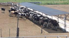El maíz va camino hacia los 5000 $/tonelada: mala noticia para los productores de leche y proteínas cárnicas