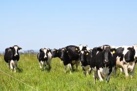 Tambos con subsidio agrícola: en el último año el valor de la leche medido en moneda maíz aumentó casi un 40%
