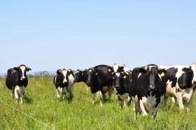 Subsidio agrícola: en la Argentina el precio de la leche medido en moneda maíz duplicó el valor presente en Uruguay