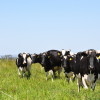 El precio de la leche en Uruguay cayó al nivel más bajo desde la crisis financiera internacional: apenas 0,29 u$s/litro