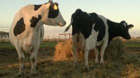 Terminó la crisis para los tambos grandes: pero los medianos y pequeños productores lecheros aún siguen complicados