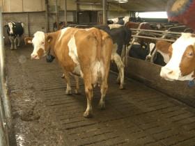 Programa oficial: tamberos holandeses liquidarán 160.000 vacas para reducir el impacto ambiental