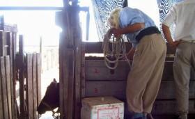El Senasa quiere comenzar a inocular ganado contra hidatidosis: existe un solo proveedor de la vacuna