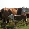 El nuevo peso mínimo de faena para hembras es de 140 kilogramos res con hueso