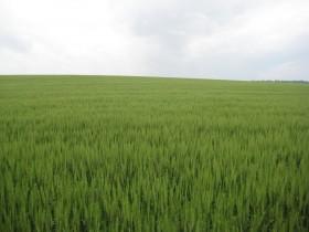 Ya se repartió el 43% del cupo de trigo 2012/13: cuenta regresiva para tomar coberturas de precios