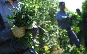 Paritarias rurales: el ajuste anual por inflación para los productores de yerba se determinó en 64%