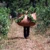 """Yerba mate: el programa de """"precios cuidados"""" se paga con subsidios forzosos aportados por los productores"""