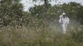 Extienden por dos años más el uso excepcional de todos los principios activos disponibles para combatir a la plaga de langostas