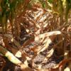 Otra vez: el aumento de derechos de exportación vuelve a castigar con mayor intensidad al cultivo de maíz