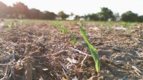 """Por la """"cobertura política"""" productores ya vendieron 30% del saldo exportable de maíz 2019/20 que aún no se terminó de sembrar"""
