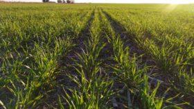 Ruleta rusa: la mayor parte de los productores argentinos están completamente descubiertos en trigo 2019/20