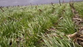 Recién el domingo se proyectan precipitaciones moderadas sobre parte del área triguera necesitada de agua