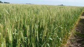 """Exportadores ofrecen importantes """"premios"""" por el trigo 2019/20: pero los productores se mantienen reticentes"""