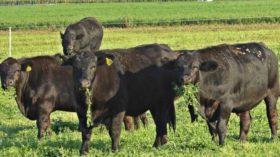 """Agricultura + Ganadería: rotación de """"verdeos de servicio"""" con cultivos"""