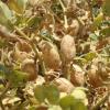 El mejor cultivo invernal es una legumbre: en el último año el precio de exportación del garbanzo argentino creció un 60%
