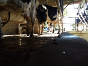 Crisis lechera: el tambo santafesino promedio ya registra una pérdida superior a un peso por litro producido