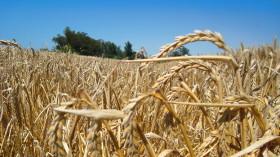El trigo de alta calidad panadera volvió a registrar un nuevo récord para superar a la soja: 4500 $/tonelada