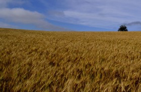 La semana que viene se organiza en Brasil el Foro Nacional de Trigo: comienza a introducirse en la agenda el autoabastecimiento del cereal