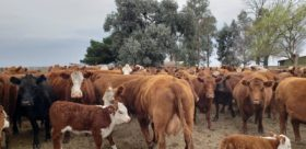 Robaron 50 vacas preñadas en Azul: ofrecen 200.000 pesos de recompensa para el que aporte información